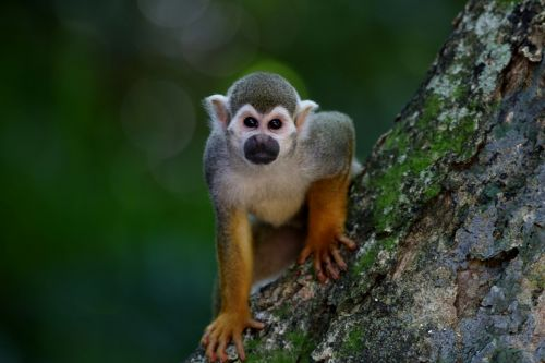 Squirrel monkey health and care