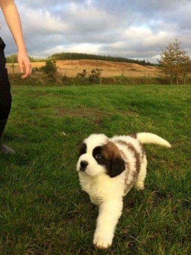St. Bernard Puppies for sale in Los Angeles, CA, USA. price 635USD