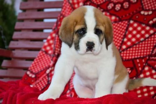 St. Bernard Puppies for sale in FL-436, Casselberry, FL, USA. price -USD