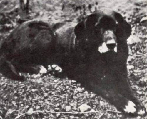 st john s water dog dog