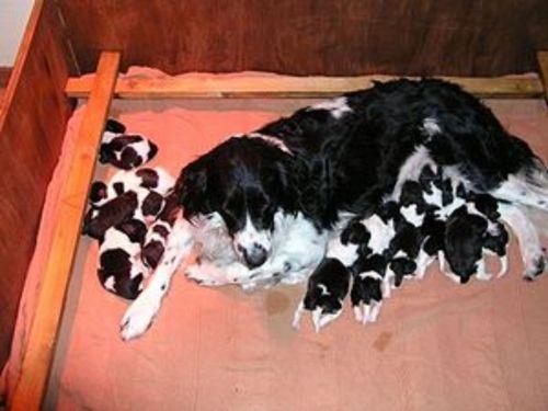 stabyhoun puppies