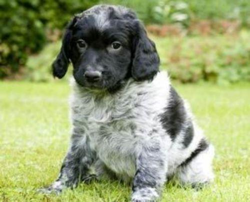 stabyhoun puppy