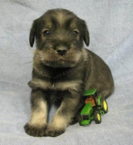 Standard Schnauzer Puppies for sale in Lolo, MT, USA. price 1200USD