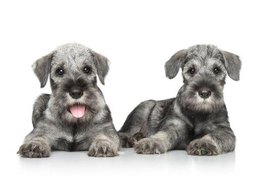 standard schnauzer puppies