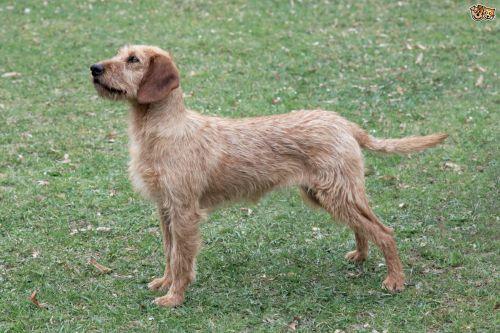 styrian coarse haired hound