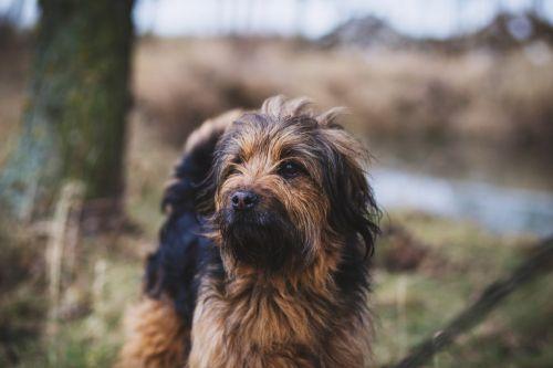 styrian coarse haired hound dog