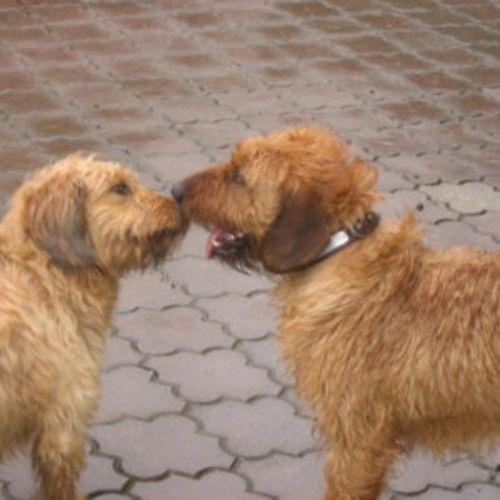 styrian coarse haired hound puppies