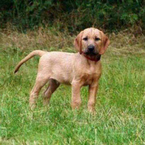 styrian coarse haired hound puppy