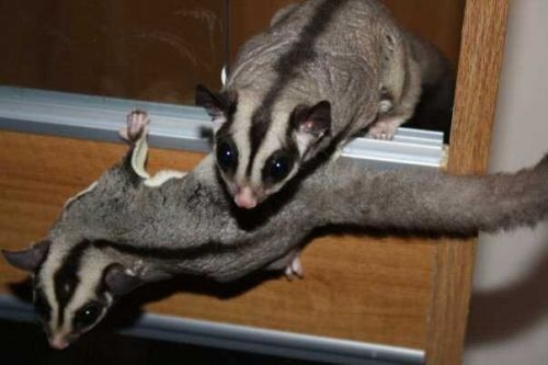 Sugar Glider Animals for sale in Akron, OH, USA. price -USD