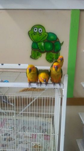 Sun Conure Birds for sale in Kissimmee, FL, USA. price 300USD