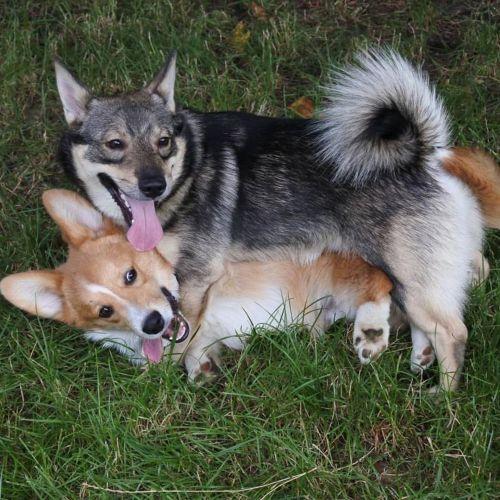 swedish vallhund dogs
