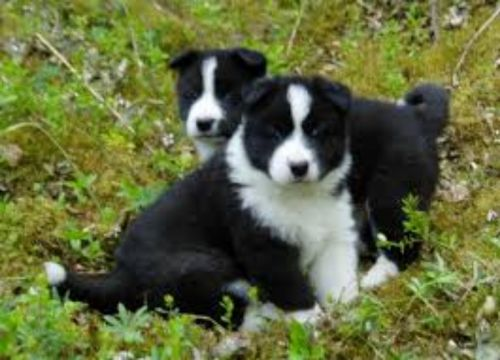 tahltan bear dog puppies