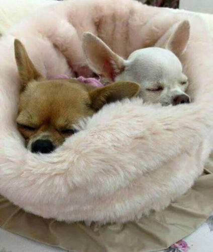 tea cup chihuahua dogs