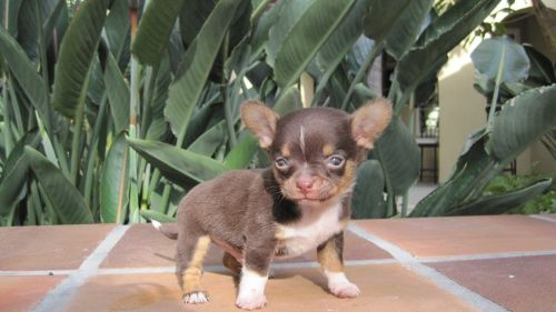 tea cup chihuahua puppy