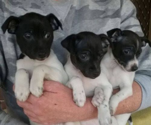 tenterfield terrier puppies