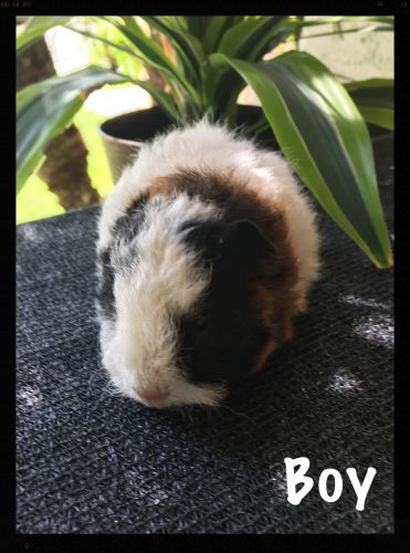 Texel Guinea Pig Rodents for sale in Murrieta, CA, USA. price 30USD