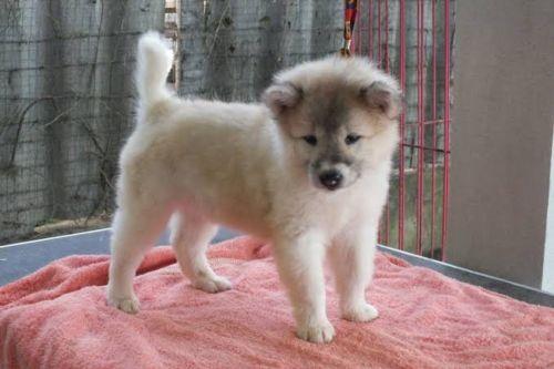 thai bangkaew puppy