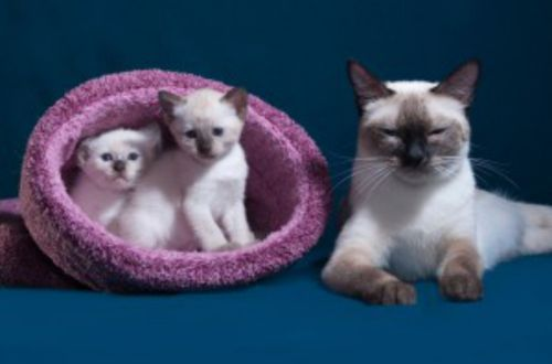 thai kittens