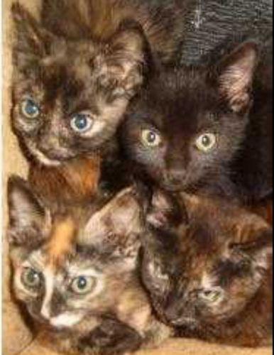 tortoiseshell kittens