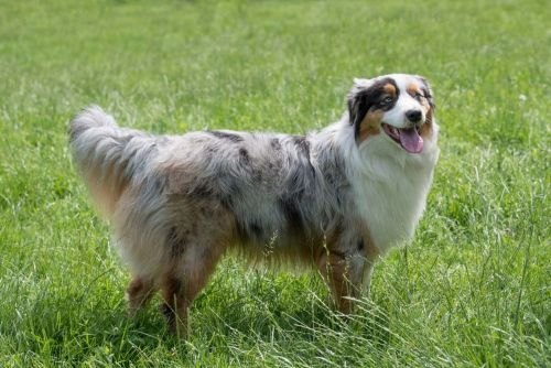 toy australian shepherd dog