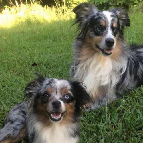toy australian shepherd dogs