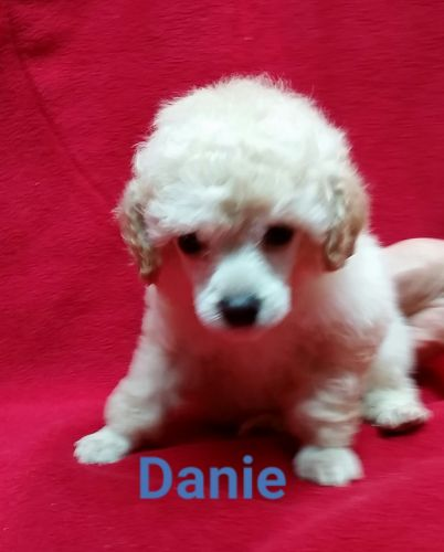 Toy Poodle Puppies for sale in Jeddo, MI 48032, USA. price 1000USD