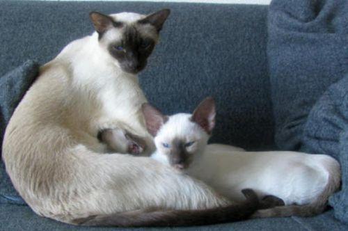 traditional siamese kitten