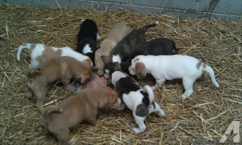 treeing cur puppies
