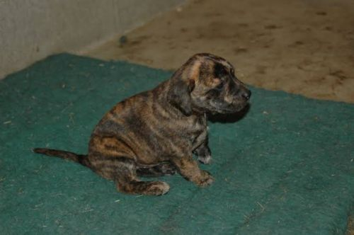 treeing tennessee brindle puppy
