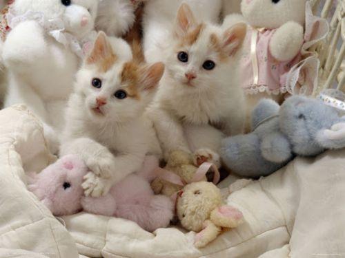 turkish van kittens