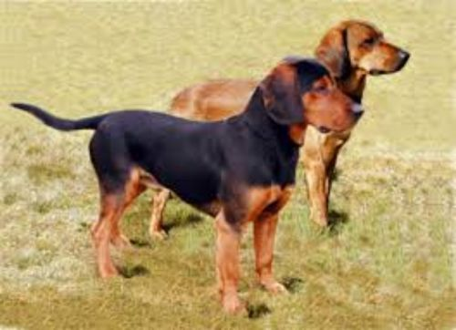 tyrolean hound dogs