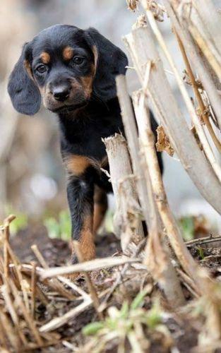 tyrolean hound puppy