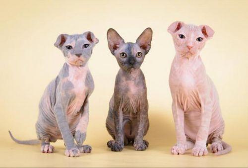 ukrainian levkoy kittens