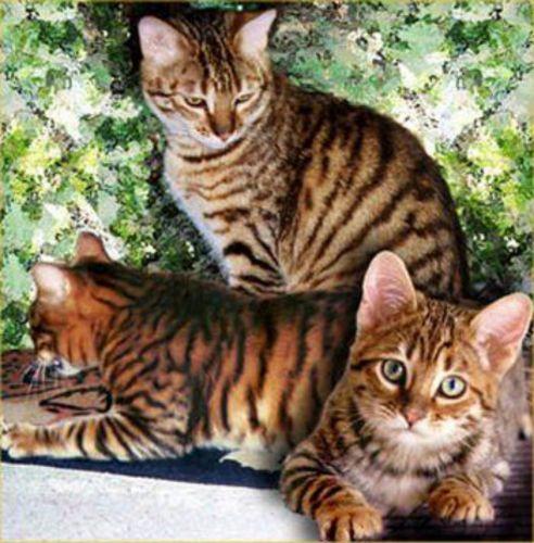 ussuri cats