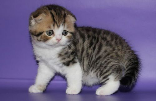 ussuri kitten