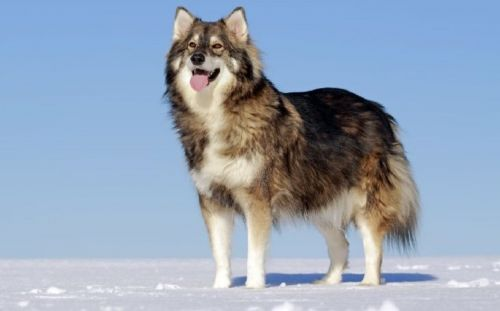 utonagan dog