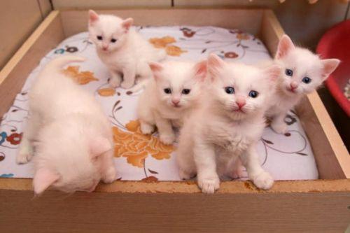 van kedisi kittens