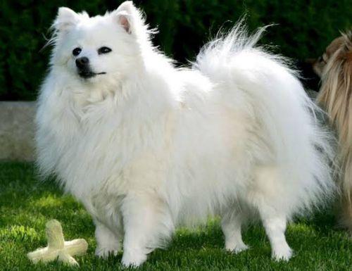 volpino italiano dog