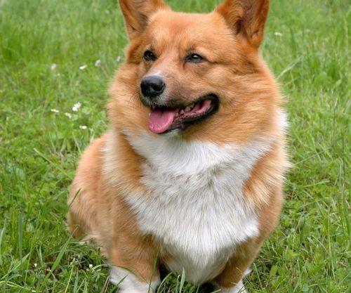 welsh corgi dog
