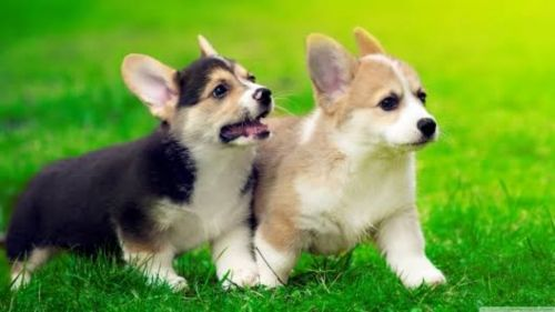welsh corgi dogs