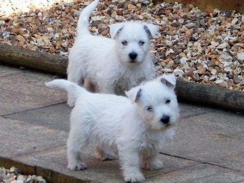 West Highland White Terrier Puppies for sale in Golf, IL 60029, USA. price -USD