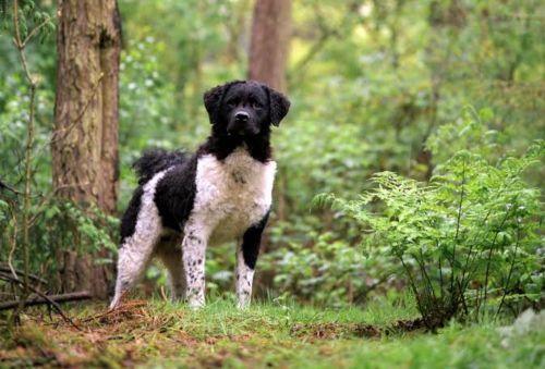 wetterhoun dog