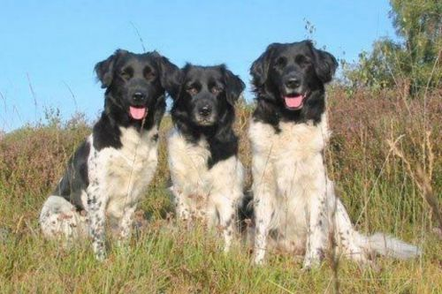 wetterhoun dogs