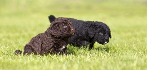 wetterhoun puppies