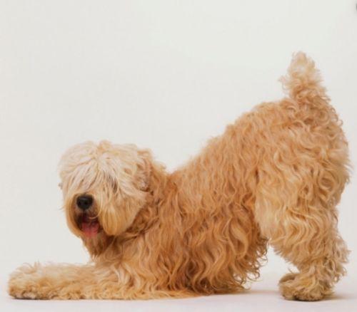 wheaten terrier dog