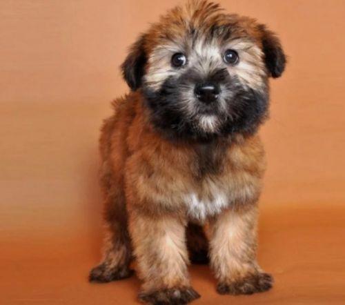 wheaten terrier puppy