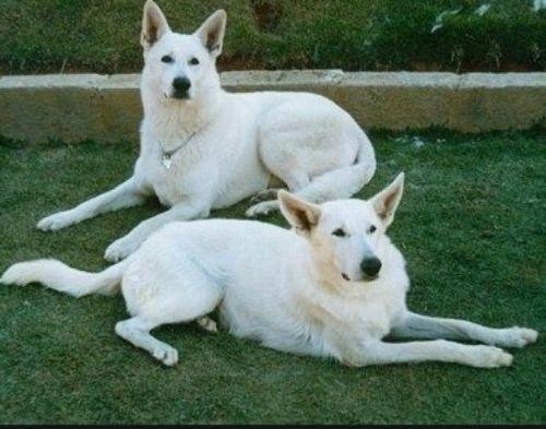 white shepherd dogs