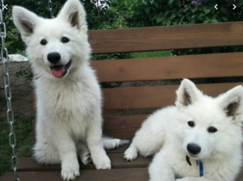 white shepherd puppies