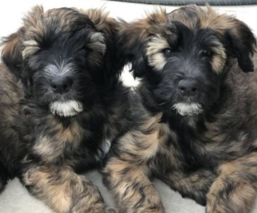 whoodles puppies