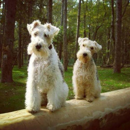 wire fox terrier dogs